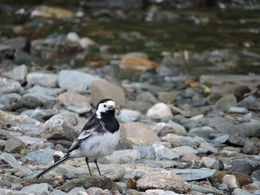 A common British bird, but not for this American. It was hunting for bugs in and around the loch , Kay K - July 2016