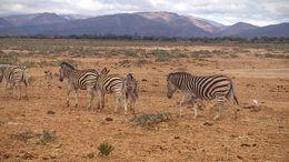 Zebra herd - May 2016