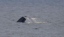 Blue whale tail 2 , Greg H - May 2013