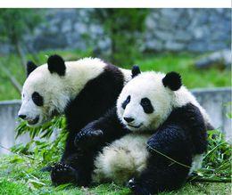 Pandas! - May 2012