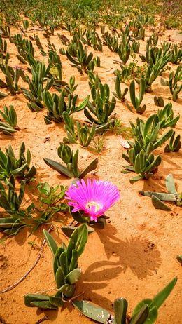 Desert flower - May 2016