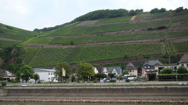 Wine crops along the Rhein. - Rhine River