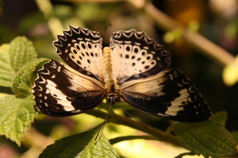 butterfly - Memphis
