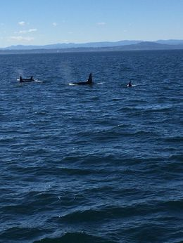 This is one of the groups of orcas we saw. It was a family of four and had just finished hunting salmon. , William R - October 2015