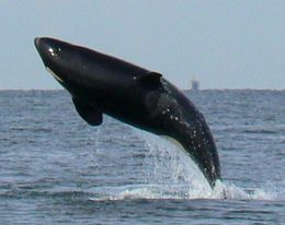 An Orca breaching the water - December 2011