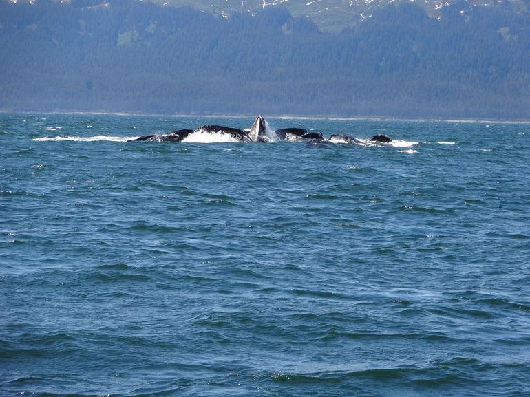 Bubble net feeding! - Juneau