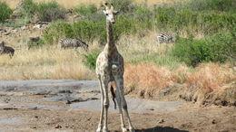Giraffe , Ravs - January 2016