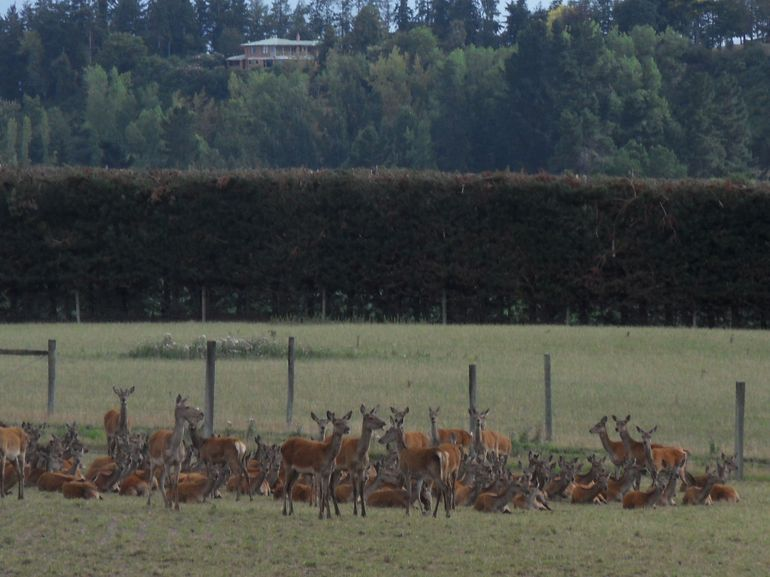 Deer at Pasture - Christchurch