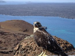 Hawk on Isle Bartoleme , Melinda - February 2016