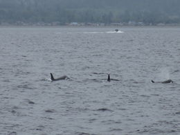 K pod of Orcas , Ann - May 2012