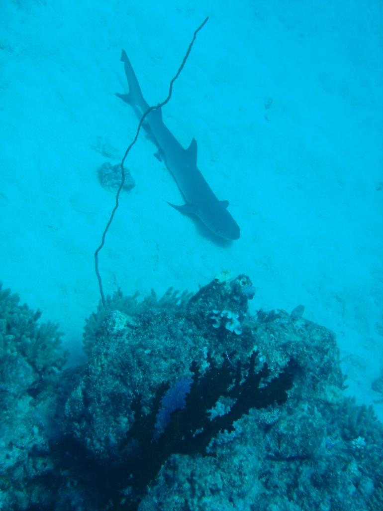 Shark! -