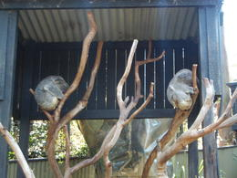 Koalas at the Reptile Park , Ericka M - November 2016