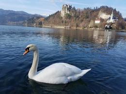 Lake Bled swans , Mandi - November 2017