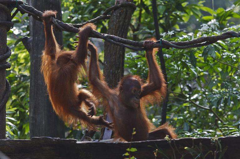 Baby Orangutans - Singapore
