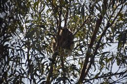 can you see the Koala? , Jill - September 2014
