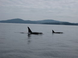 Two of three orca we saw on the tour , Jennifer W - May 2015