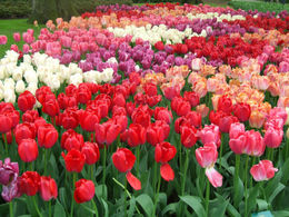 Lots and lots of tulips , Patricia L - May 2012