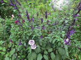 Fabulous color combonations with datura and salvia. , Elizabeth R - December 2017
