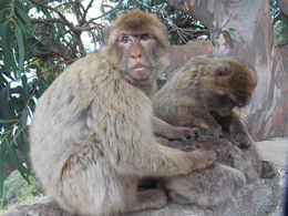 A family of Barbary macaque in Gibraltar. , sabin.carpiuc - June 2015