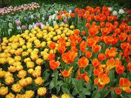 Tulips, tulips...., Olivia Z - May 2009