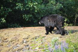 Bear in Mendenhall Glacier, Juneau Alaska , Charlaine M - June 2013