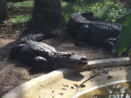 You can't go to Florida and not see some Crocs!, JennyC - February 2015