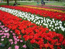 Fields of tulips, Olivia Z - May 2009