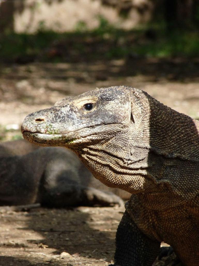 Komodo Dragon - Bali