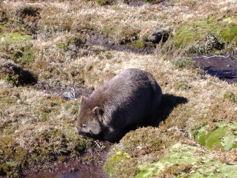 Obliging Wombat - Launceston