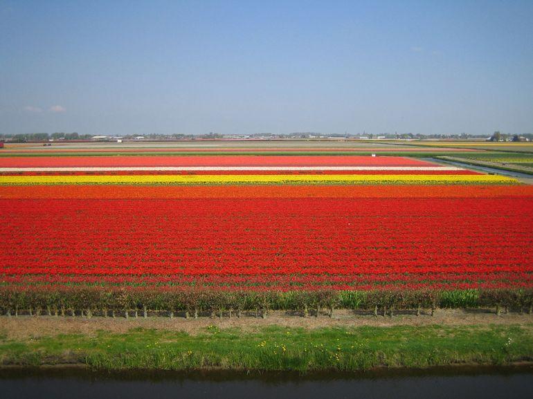 Tulip Fields - Amsterdam