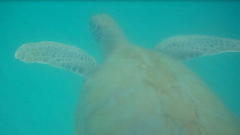 Turtles in the turquoise ocean - Barbados