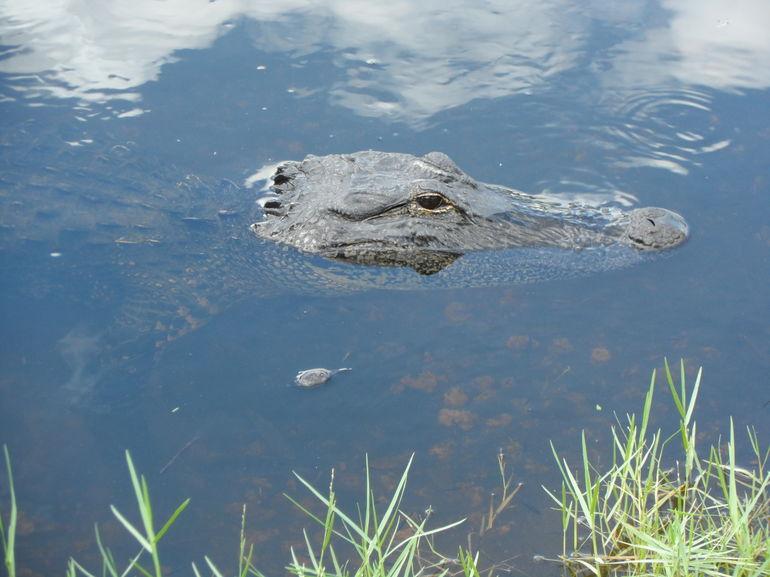 alligator everglades - Miami