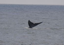 Blue whale tail 4 , Greg H - May 2013