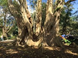 This tree is 54 foot round... You need a 'group hug' to get around this puppy!, JennyC - February 2015