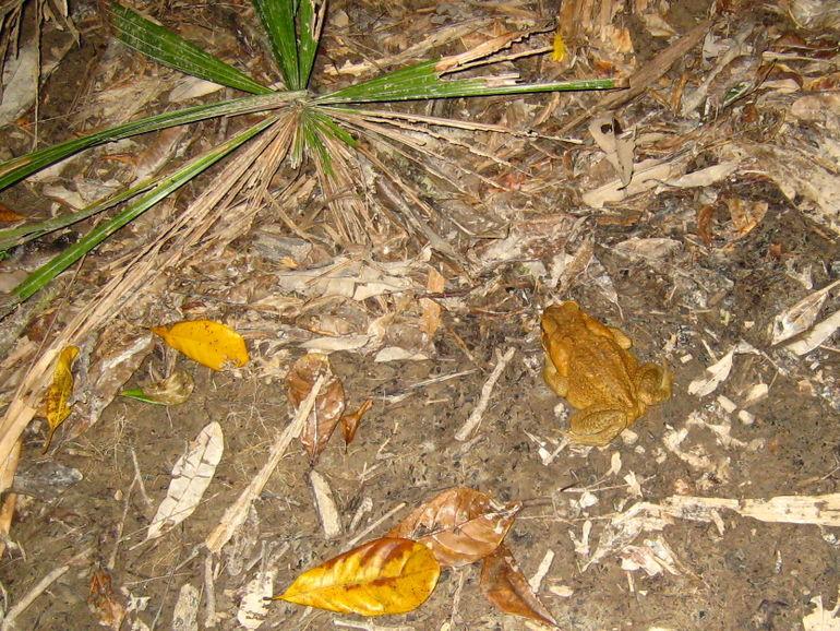 Frog again! - Port Douglas