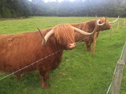 Best part of Loch Ness trip was seeing the Hairy Coos! , Kay W - August 2015