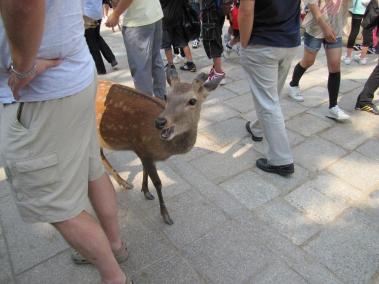 Smiling deer at Nara park - Tokyo