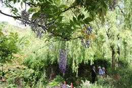 Beautiful wisteria on the Japanese bridge. , Mitch B - July 2013