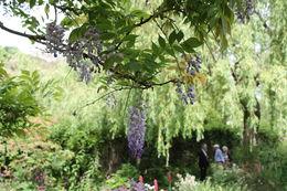 Beautiful wisteria on the Japanese bridge. , Mitch B - July 2013