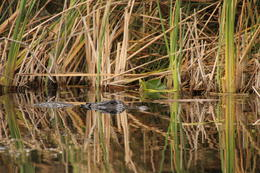 ONe of our many gator sightings , Pam C - February 2017