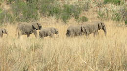 Elephants , Ravs - January 2016
