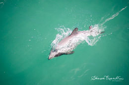Recent Hector Dolphin Cruise , shadania - February 2015