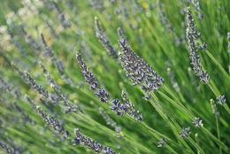 Lavender - July 2013