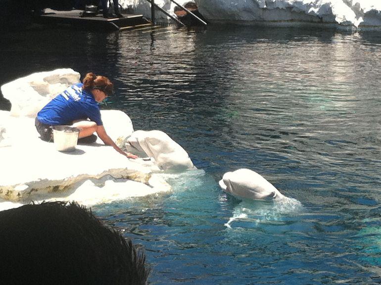 Beluga Whales - San Diego