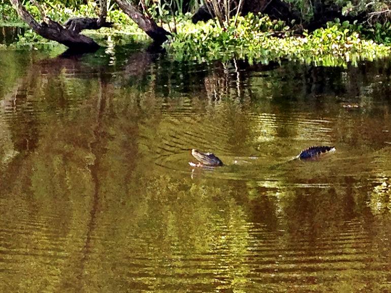 Gator Swim - New Orleans