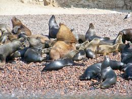Closeup shot of bull sea lions and his harem at Ballesta Islands, Tim Leffel - August 2011