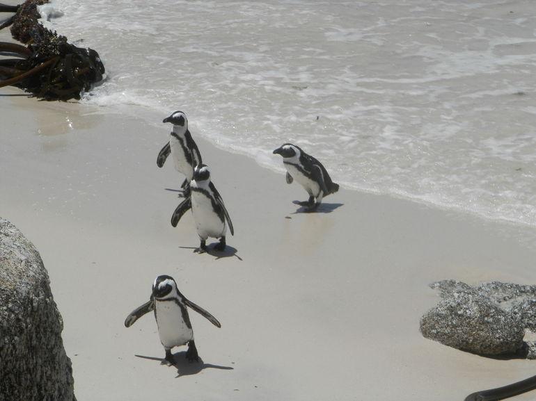 photo-des-pingouins-visite-de-la-peninsule-du-cap-town