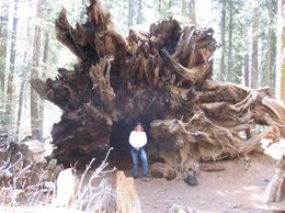 Doreen in front of a fallen tree root., Doreen B - July 2008