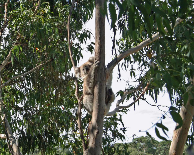 A resident of the Koala Conservatory - Melbourne