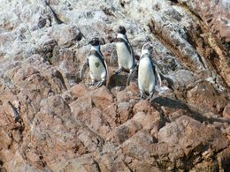 Cute Humboldt Penguins at Ballesta Islands seem to be posing for photos!, Tim Leffel - August 2011